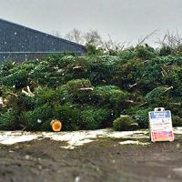 Pile of Christmas trees at South Burlington Drop-Off Center