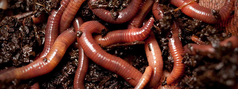 A close-up shot of a pile of worms in dirt.
